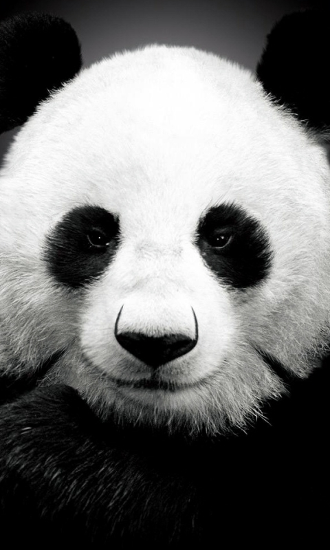 panda[1]