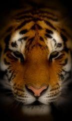Tiger[1]