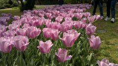 Tulipani Rosa.