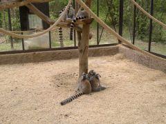 Lemuri.