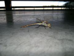 foto libellula macro
